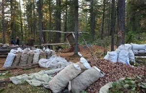 Добыча и сбор орехов